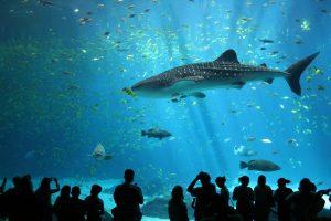 A Whale shark at Sealife center aquarium in Busan, South Korea