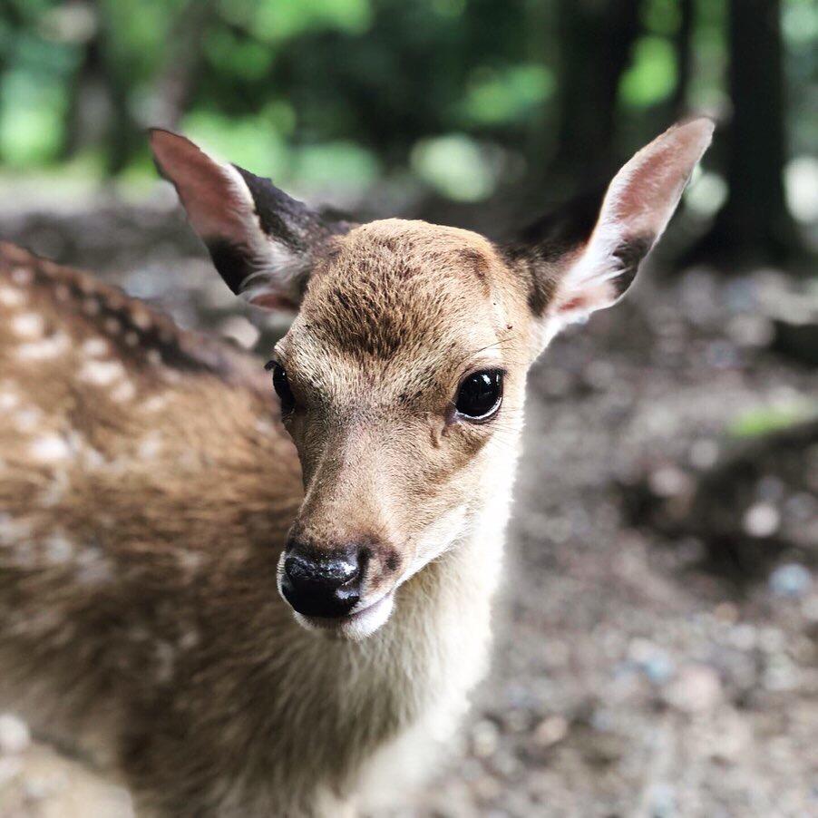 close-up-of-a-young-deer-on-miyajima-island