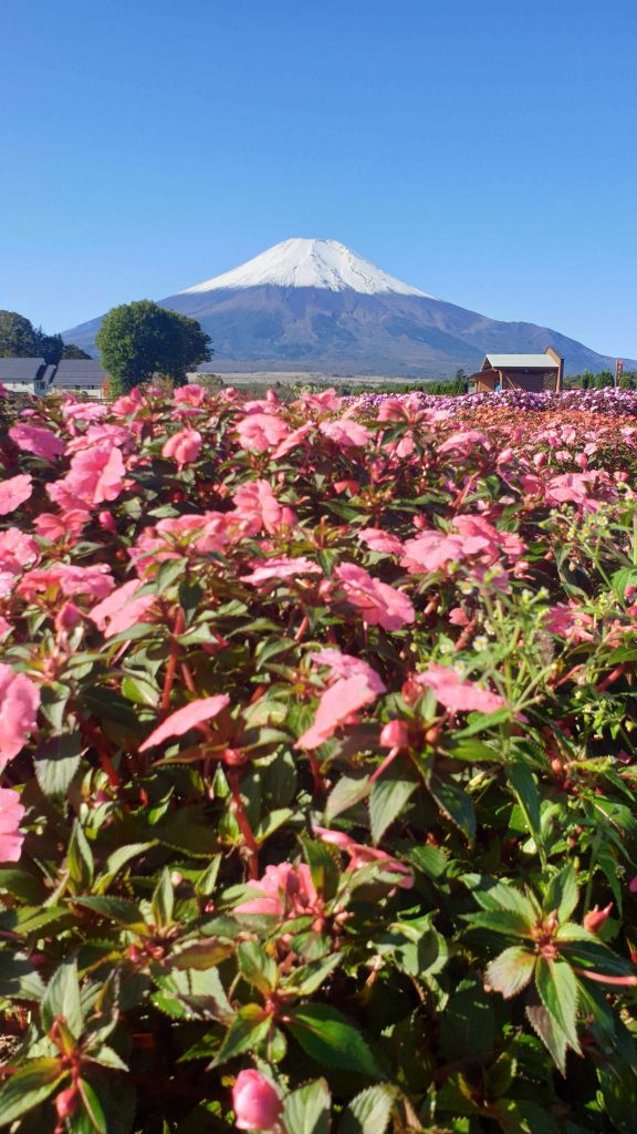 Mt. Fuji in the background with pink flowers in the foreground.