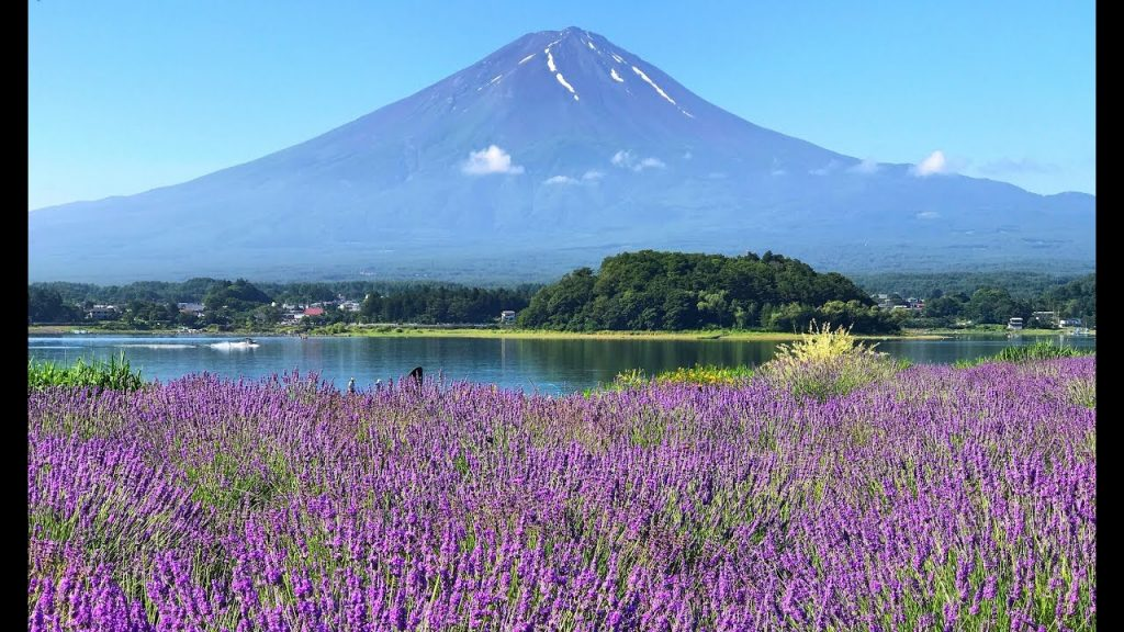 Lavender fields with a mountain in the background.